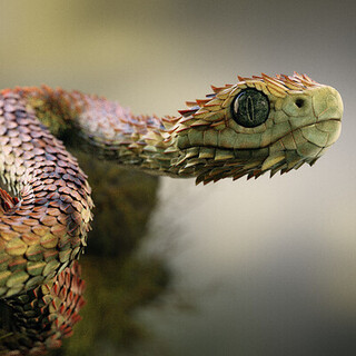 Atheris Hispida Snake